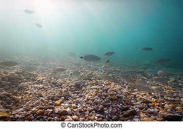 Underwater pebbles clear sea with swimming fishes