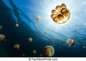 Jellyfish Lake - Underwater photo of endemic golden ...