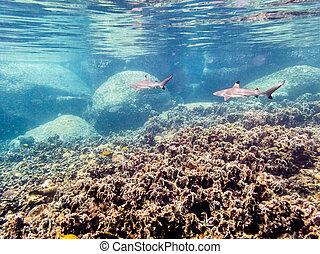 Underwater photos of Blacktip Reef Shark