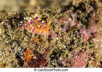 Cuthona sibogae Nudibranch, Sea Slug - Underwater picture of...