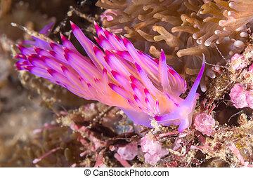 Flabellina rubrolineata Nudibranch, Sea Slug - Underwater...