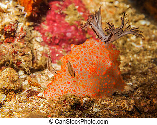 Halgerda batangas Nudibranch, Sea Slug - Underwater picture...