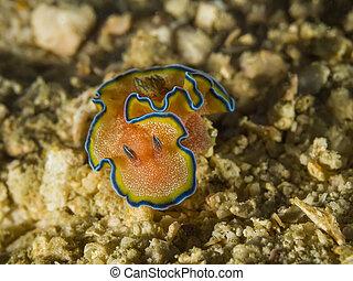 Nudibranch Glossodoris cincta, sea slug - Underwater picture...