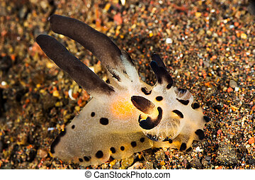 Thecacera Nudibranch, Sea Slug - Underwater picture of...