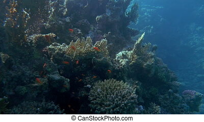 Underwater scene of huge coral reef and fish