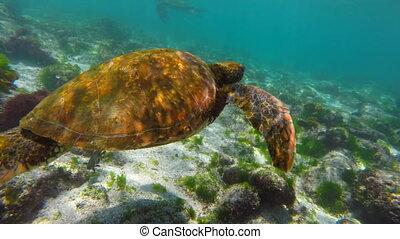 Underwater scene with sea turtle swimming