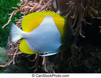 underwater scenery showing a colorful Butterfly fish -...