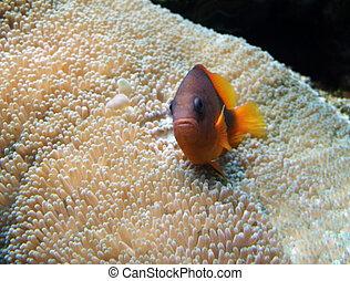 underwater scenery with Anemone fish - underwater scenery...