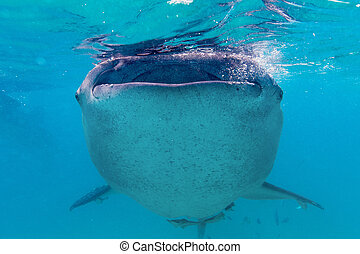 Underwater shoot of a gigantic whale sharks ( Rhincodon ...
