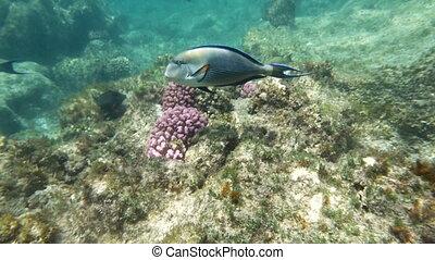 Underwater Shot of Surgeon Fish - Slow motion underwater...