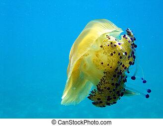 Underwater shot of yellow jellyfish