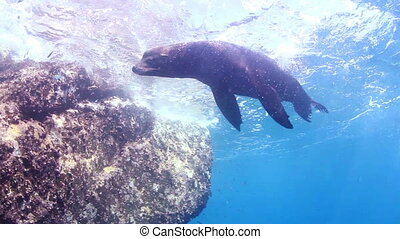 underwater shots of sea lions, whilst scuba diving in cabo...