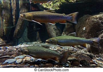 underwater, trout., bild, bach, meer, forelle