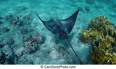 a stingray fish - Underwater view of a stingray fish in the...