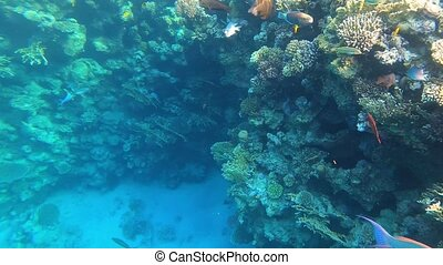 Underwater view of colorful tropical fishes and coral reef at Egypt