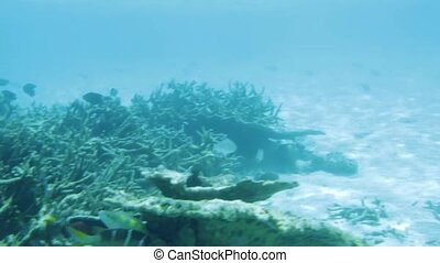 Underwater view of dead coral reefs and beautiful fishes. Snorkeling. Maldives, Indian ocean.