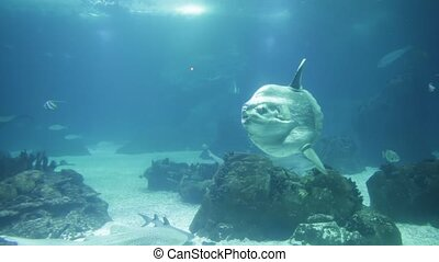Underwater white shark - Undersea background with copy...