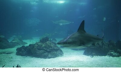 Underwater white shark - Undersea blue background. Bottom...