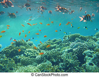 Underwater world. Coral fishes of Red sea.