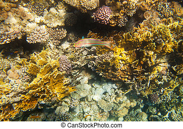 Coral fishes of Red sea Egypt