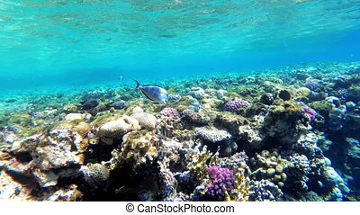 Underwater world of the Red Sea with colored fish and coral...