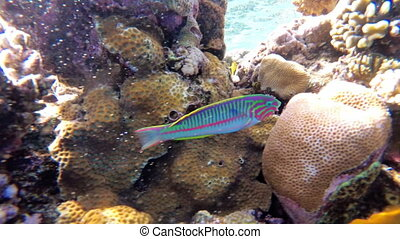 The underwater world of the Red Sea with colored fish and coral reef in the Red Sea. Egypt. Wonderful Tropical fish. Marine life background. Underwater view in Clear Blue Water.