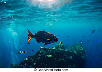 Underwater world with tropical fish and USS Liberty Wreck in Bali