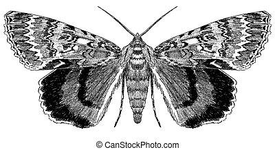 Underwing Moth - Catocola sp.