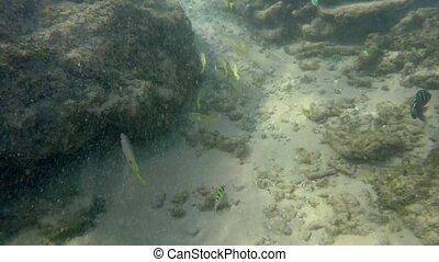 tropical fish flocks, ocean sandy bottom and coral reef - ...