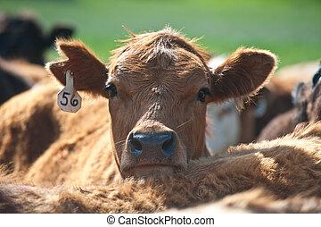 une, bétail