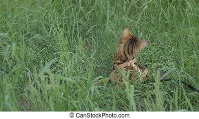 une, chat, grass., vert, promenades, bengale