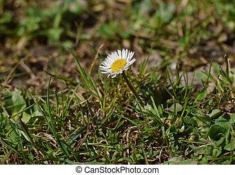 une, peu, pâquerette fleur