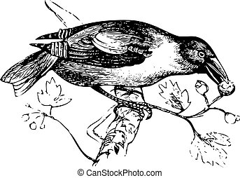 une, vieux, gravure, de, a, hawfinch, ou, grosbeak, manger