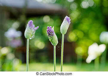 unexpanded garlic flower buds with dew drops