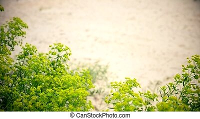 Unfocused legs of teenager in plimsolls and light green or blue trousers walking fast on sand with lush vibrant green spurge euphorbia plant flowers swaying in breeze in focus in foreground