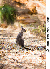 ung, och, liten, känguru