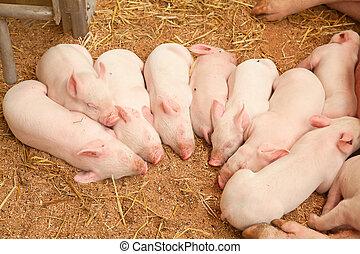 ung, pigs