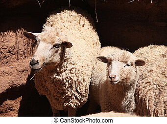 ung, sheep, in, a, paddock