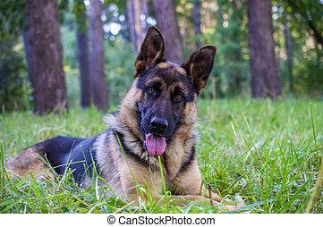 ung, tyska herde, sitta på gräset, i parken