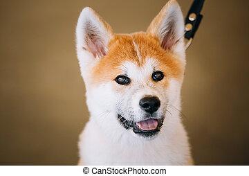 ung, vit, och, röd, akita, inu, hund, valp