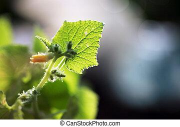 unge, agurk, plante, makro, close-up, på, en, leaf.