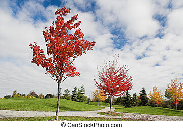 unge, ahorn, træer, ind, efterår