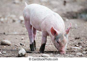 unge svin