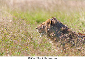 unge, løvinde, på, savanna, græs, baggrund