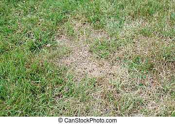 Unhealthy grass - Garden lawn with unhealthy brown dead...