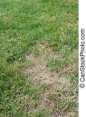 Garden lawn with unhealthy brown dead patches