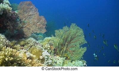 Unicornfish swimming on a coral reef