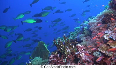 Unicornfishes swimming on a coral reef. The coral reef is beautifully covered with sea fans, soft corals and hard corals.