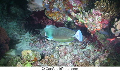 Spotted unicornfish, Naso brevirostris, Papua New Guinea, Milne Bay