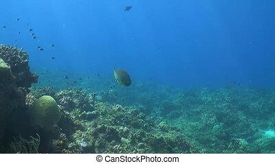 Unicornfish with Cleanerfish on a coral reef. Bannerfish, Damselfish and Triggerfish